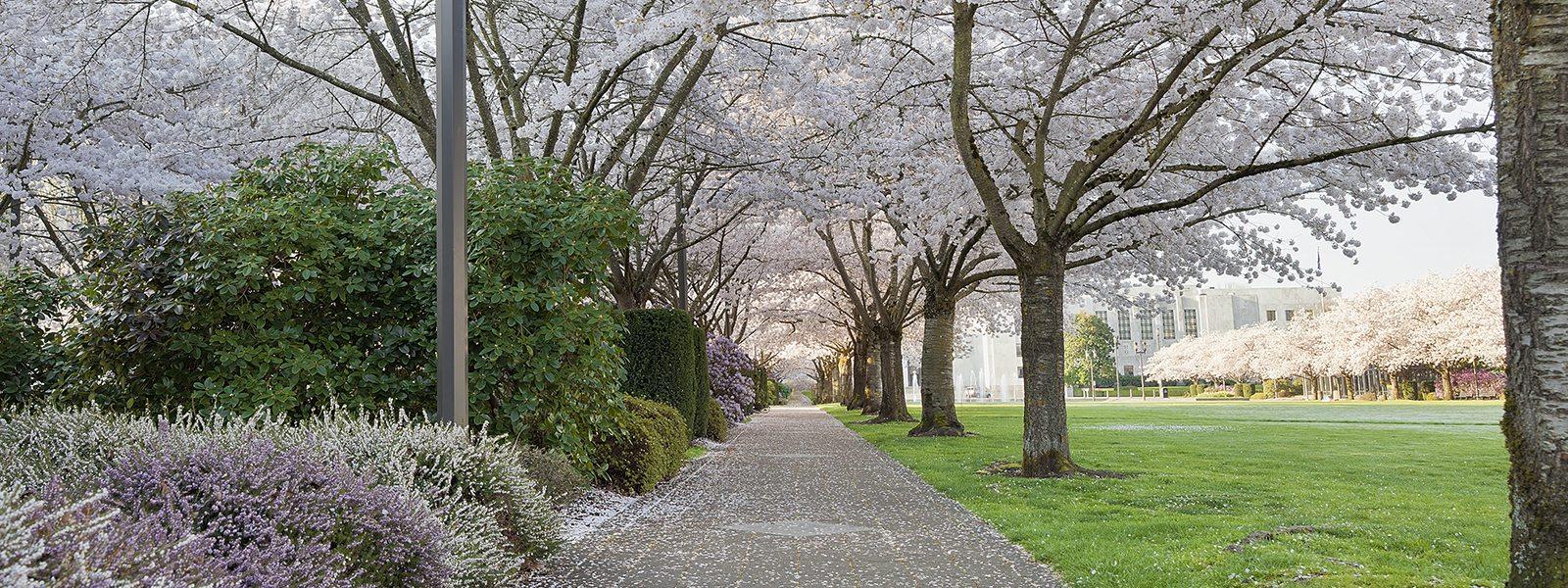 salem-or-cherry-tree-shutterstock_183518681-1600x600